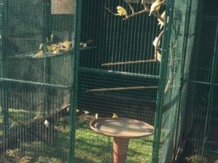 Canaries for sale 2019 babies R150 each