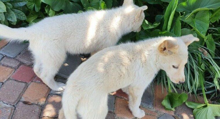 swiss-white – shepherd